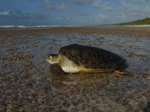 Green turtle returning 2